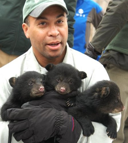 In 2008 in Whately, Gov. Deval L. Patrick helped state wildlife biologists conduct a medical check-up of a mother black bear and her three cubs, who were in their den beneath a fallen tree. Dave Roback photo..