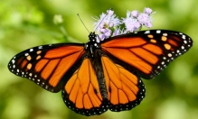 Ways to attract the regal and familiar Monarch butterfly.